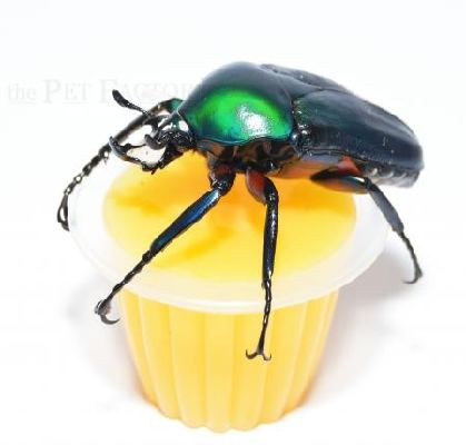 Beetle Jelly Mango